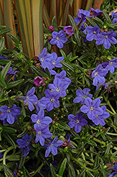 Grace Ward Lithodora (Lithodora 'Grace Ward') at Stein's Garden & Home