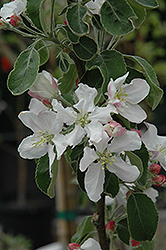 Granny Smith Apple (Malus 'Granny Smith') at Stein's Garden & Home