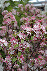 Coralburst Flowering Crab (Malus 'Coralburst') at Stein's Garden & Home
