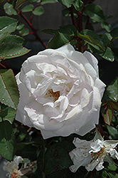 Milwaukee's Calatrava Rose (Rosa 'Radfragwhite') at Stein's Garden & Home
