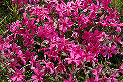 Scarlet Flame Moss Phlox (Phlox subulata 'Scarlet Flame') at Stein's Garden & Home