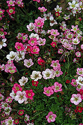 Purple Robe Saxifrage (Saxifraga x arendsii 'Purple Robe') at Stein's Garden & Home
