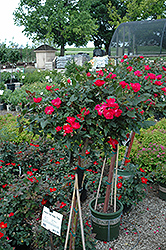 Knock Out Rose Tree (Rosa 'Radrazz') at Stein's Garden & Home