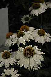 PowWow White Coneflower (Echinacea purpurea 'PowWow White') at Stein's Garden & Home