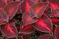 ColorBlaze® Kingswood Torch Coleus (Solenostemon scutellarioides 'Kingswood Torch') at Stein's Garden & Home