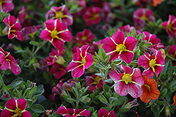 Superbells® Cherry Star Calibrachoa (Calibrachoa 'Superbells Cherry Star') at Stein's Garden & Home