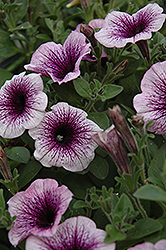 Supertunia® Mini Blue Vein Petunia (Petunia 'Supertunia Mini Blue Vein') at Stein's Garden & Home