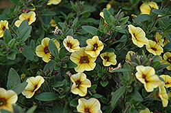 Superbells® Saffron Calibrachoa (Calibrachoa 'Superbells Saffron') at Stein's Garden & Home