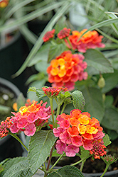 Lucky™ Sunrise Rose Lantana (Lantana camara 'Lucky Sunrise Rose') at Stein's Garden & Home
