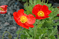 Spring Fever Red Poppy (Papaver nudicaule 'Spring Fever Red') at Stein's Garden & Home