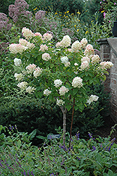Limelight Hydrangea (tree form) (Hydrangea paniculata 'Limelight (tree form)') at Stein's Garden & Home