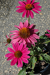 PowWow Wild Berry Coneflower (Echinacea purpurea 'PowWow Wild Berry') at Stein's Garden & Home