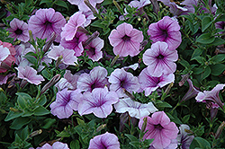 Easy Wave® Plum Vein Petunia (Petunia 'Easy Wave Plum Vein') at Stein's Garden & Home