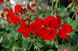 Precision Scarlet Red Ivy Leaf Geranium (Pelargonium peltatum 'Precision Scarlet Red') at Stein's Garden & Home