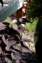 Sidekick™ Black Heart Sweet Potato Vine (Ipomoea batatas 'Sidekick Black Heart') at Stein's Garden & Home