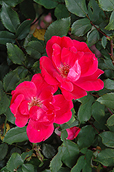 Red Knock Out Rose (Rosa 'Red Knock Out') at Stein's Garden & Home