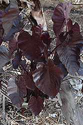 Royal Hawaiian® Black Coral Elephant Ear (Colocasia esculenta 'Black Coral') at Stein's Garden & Home