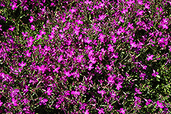 Techno® Heat Violet Lobelia (Lobelia erinus 'Techno Heat Violet') at Stein's Garden & Home