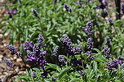 Cathedral™ Purple Salvia (Salvia farinacea 'Cathedral Purple') at Stein's Garden & Home