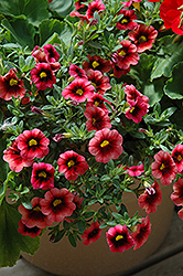 Superbells® Coralberry Punch Calibrachoa (Calibrachoa 'Superbells Coralberry Punch') at Stein's Garden & Home
