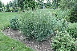 Heavy Metal Blue Switch Grass (Panicum virgatum 'Heavy Metal') at Stein's Garden & Home