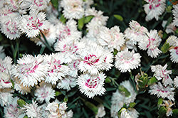 EverLast™ White plus Eye Pinks (Dianthus 'EverLast White plus Eye') at Stein's Garden & Home