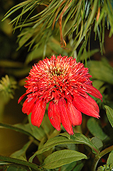 Double Scoop™ Cranberry Coneflower (Echinacea 'Balscanery') at Stein's Garden & Home
