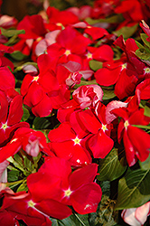 Cora® Red Vinca (Catharanthus roseus 'Cora Red') at Stein's Garden & Home