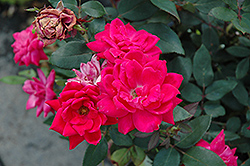 Red Double Knock Out Rose (Rosa 'Red Double Knock Out') at Stein's Garden & Home