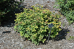 Double Play Big Bang Spirea (Spiraea 'Tracy') at Stein's Garden & Home