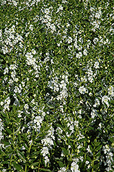 Angelface® White Angelonia (Angelonia angustifolia 'Angelface White') at Stein's Garden & Home