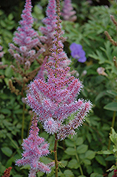 Purple Candles Astilbe (Astilbe chinensis 'Purple Candles') at Stein's Garden & Home