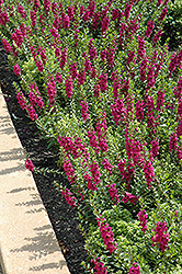 Archangel™ Raspberry Angelonia (Angelonia angustifolia 'Archangel Raspberry') at Stein's Garden & Home