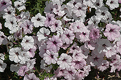 Tidal Wave Silver Petunia (Petunia 'Tidal Wave Silver') at Stein's Garden & Home