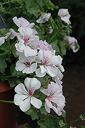 Precision White Red Eye Ivy Leaf Geranium (Pelargonium peltatum 'Precision White Red Eye') at Stein's Garden & Home