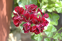 Precision Dark Burgundy Ivy Leaf Geranium (Pelargonium peltatum 'Precision Dark Burgundy') at Stein's Garden & Home