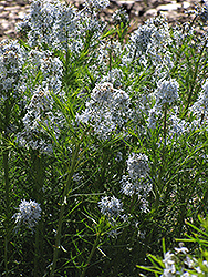 Narrow-Leaf Blue Star (Amsonia hubrichtii) at Stein's Garden & Home