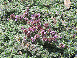 Wooly Thyme (Thymus pseudolanuginosis) at Stein's Garden & Home