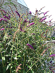 Black Knight Butterfly Bush (Buddleia davidii 'Black Knight') at Stein's Garden & Home