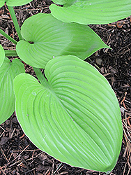 Sum and Substance Hosta (Hosta 'Sum and Substance') at Stein's Garden & Home