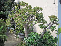 Jade Plant (Crassula ovata) at Stein's Garden & Home