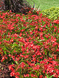 Dragon Wing Red Begonia (Begonia 'Dragon Wing Red') at Stein's Garden & Home