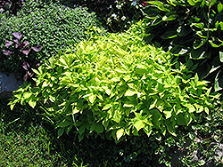 Sweet Caroline Light Green Sweet Potato Vine (Ipomoea batatas 'Sweet Caroline Light Green') at Stein's Garden & Home