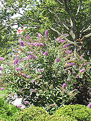 Pink Delight Butterfly Bush (Buddleia davidii 'Pink Delight') at Stein's Garden & Home
