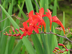Lucifer Crocosmia (Crocosmia 'Lucifer') at Stein's Garden & Home