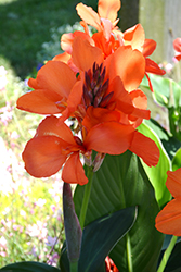 Toucan® Dark Orange Canna (Canna 'Toucan Dark Orange') at Stein's Garden & Home