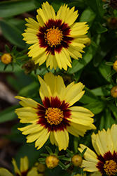 UpTick™ Yellow and Red Tickseed (Coreopsis 'Baluptowed') at Stein's Garden & Home