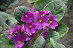 Hybrid Purple African Violet (Saintpaulia 'Hybrid Purple') at Stein's Garden & Home