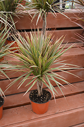 Colorama Dracaena (Dracaena marginata 'Colorama') at Stein's Garden & Home
