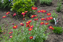 Robinson's Red Painted Daisy (Tanacetum coccineum 'Robinson's Red') at Stein's Garden & Home